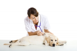 Veterinarian taking care of a dog